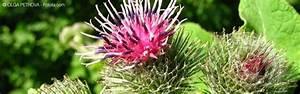 Plante Detoxifiante : cure detox bardane et pens e sauvage purifier votre peau ~ Melissatoandfro.com Idées de Décoration