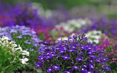 Flowers Violet Wallpapers Desktop Backgrounds Background Purple