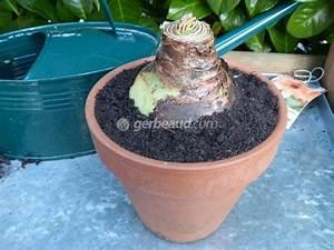 Planter Des Bulbes : amaryllis plantation et culture ~ Dallasstarsshop.com Idées de Décoration