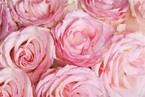 Couleur Complémentaire Du Rose : signification des 10 couleurs de roses et 15 fleurs ~ Zukunftsfamilie.com Idées de Décoration