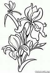 Coloring Snowdrop Iris Pages Print Flowers sketch template