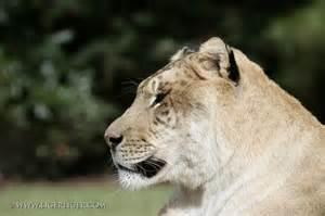 World Biggest Cat Liger