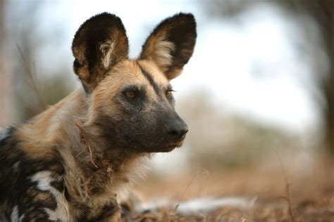 achoo african wild dogs vote  group decisions