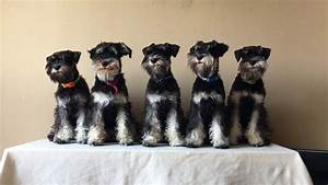 miniature schnauzer black and silver puppies - YouTube