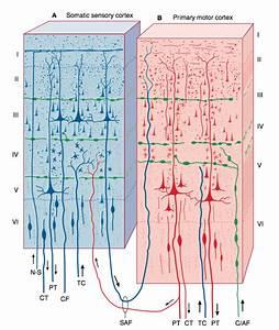 Neurology  Do Neurons Cross The Central Sulcus Between The