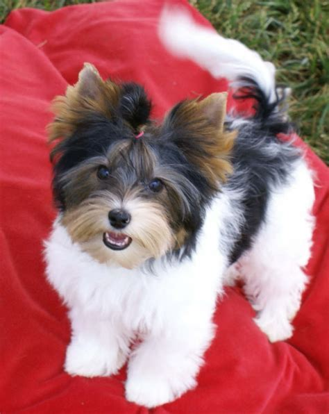 1000  images about Biewer on Pinterest   Yorkie dogs