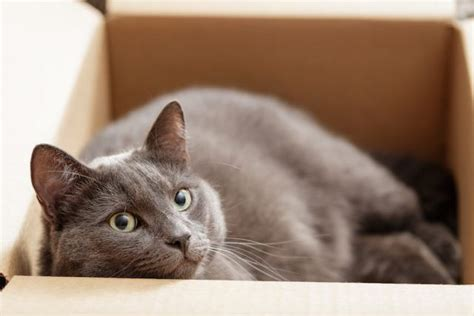 cat cats better dogs than why reasons shorthair british believe never cheatsheet