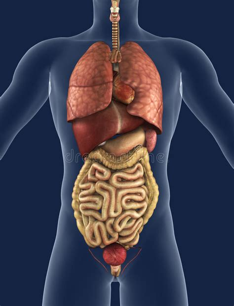 organi interni vista frontale degli organi interni illustrazione di stock
