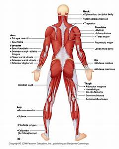 Muscles   6 Muscular System Pictures Labeled   Anatomy Posterior Muscular System Diagram