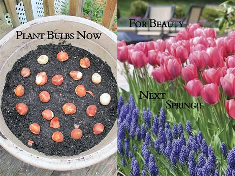 how to plant blooming bulbs in a pot