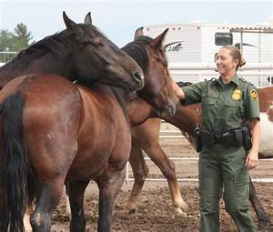 Wild mustangs find job with Border Patrol | Local News ...