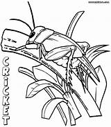 Cricket Coloring Pages Print Insect Colorings sketch template