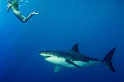 Shark Image Do Sharks Really Not Like How Humans Taste