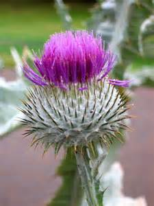 Scottish Thistle Scotland