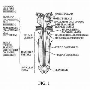 Parts Of Urethra Male - Diagram Body Of Anatomy