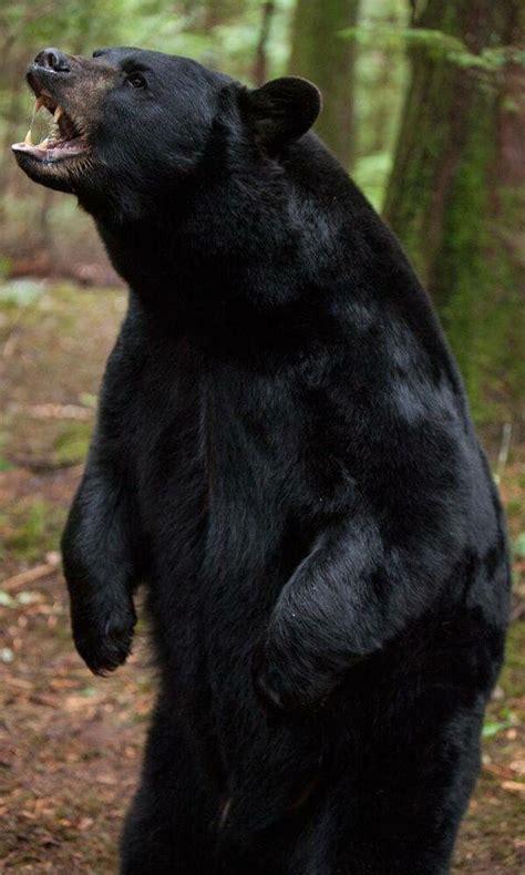 black bear standing roaring   woods black bear