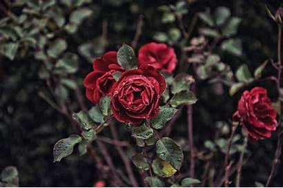 Rose Roses Bud Drops Bush