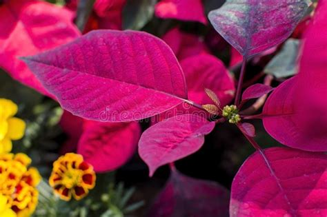 poinsettia leaf   obscure   focus background