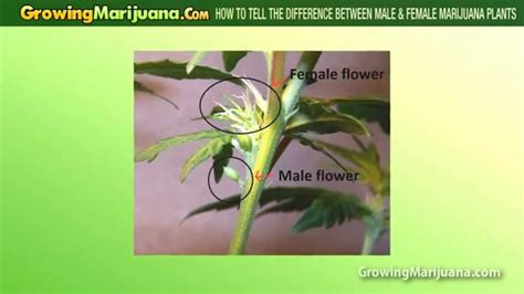 how to tell a from a flower how to tell the difference between male female cannabis plants youtube