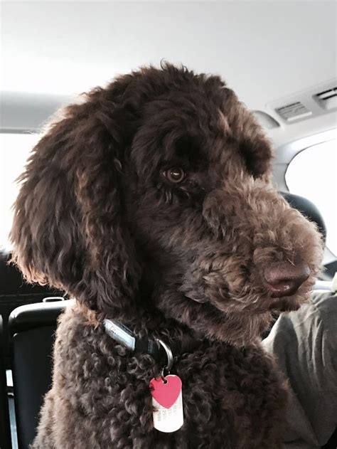 pin  stephanie white  standard poodle haircuts