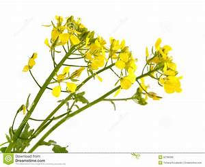 Mustard Flowers. Royalty Free Stock Photo - Image: 32786335