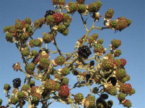 himalayan blackberry invasive species council  british columbia iscbc plants animals
