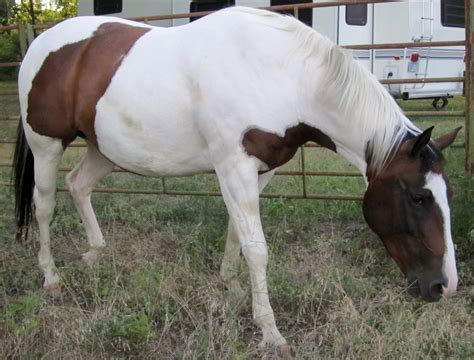 Brown And White Paint Horse