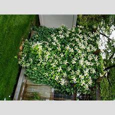 Plantfiles Pictures Japanese Climbing Hydrangea
