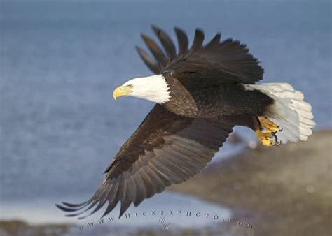 birds of north america bald eagle