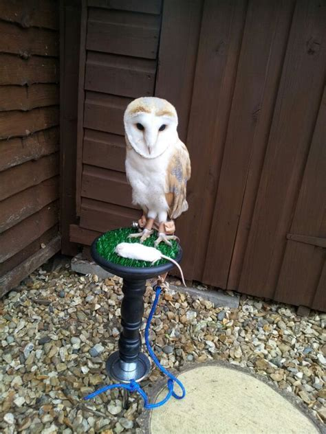 Barn Owl Breeders by Reared Barn Owl For Sale Birmingham West Midlands
