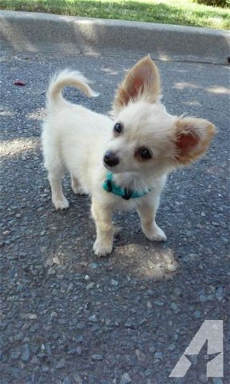fawn long haired chihuahua puppy  sale  los banos