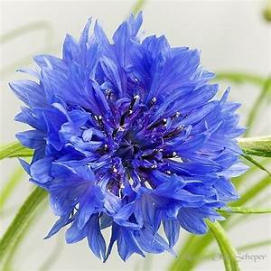 """Cornflower""   Blue wedding flowers   Pinterest"