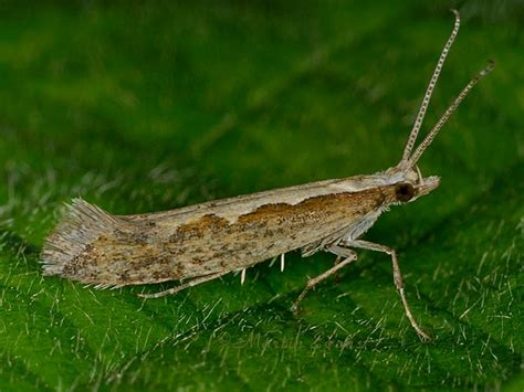 http://www.wildguideuk.com/lepidoptera_pages/micro-moth_pages/yponomeutidae/plutellinae/0464_plutella_xylostella.html