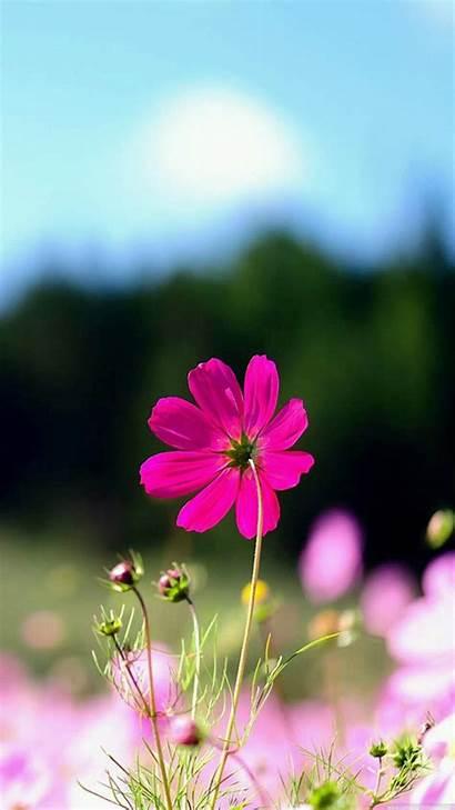 Iphone Plus Flowers Flower Wallpapers Wallpapersafari