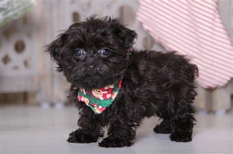 ziggy curious teacup yorkie poo puppies
