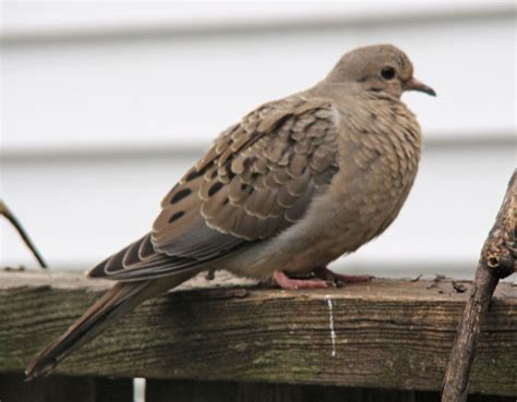 our first fledgling mourning dove of 2009 neighborhood