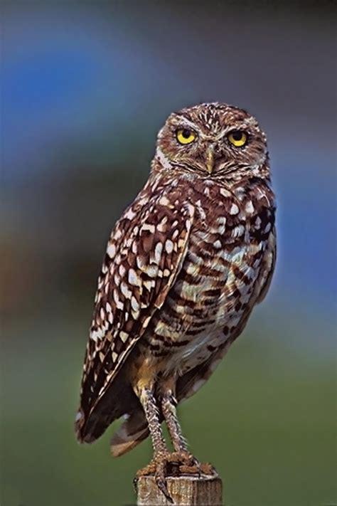 doves  owls  washington state university