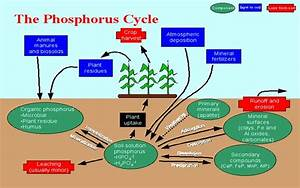 4 The Phosphorus Cycle   Source  Msucares Com