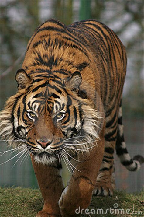 prowling tiger royalty  stock images image