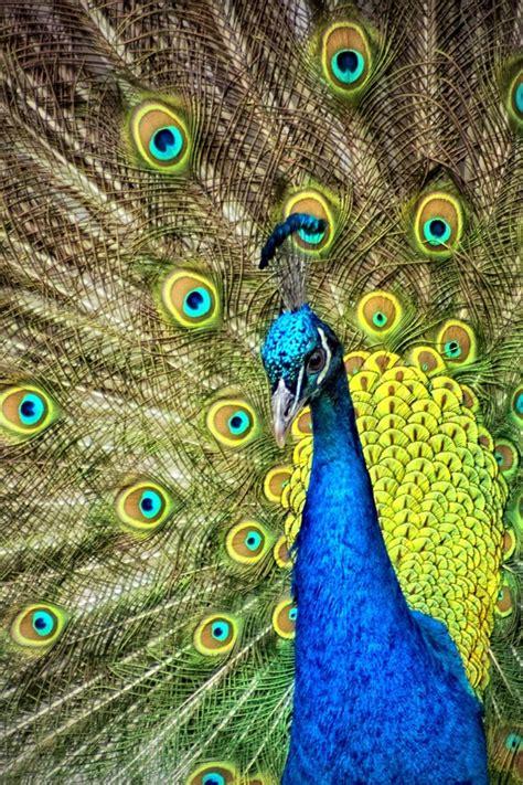 blue  green peacock  stock photo