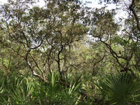 Xeric Hammock florida plant society