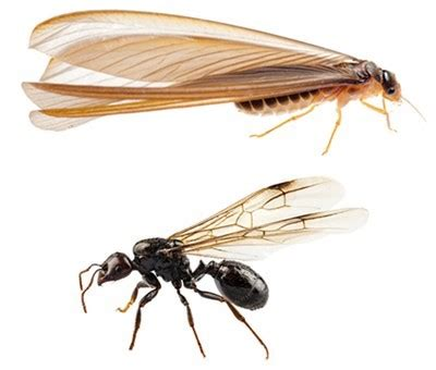 termites  carpenter ants whats  difference