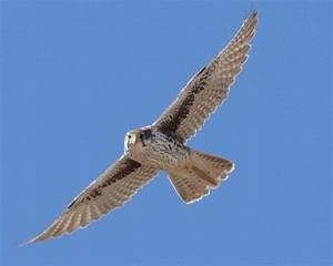 Prairie Falcon   Audubon Field Guide  Falcon