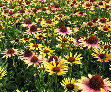 armoire feminin ou masculin growing echinacea in pots 28 images pictures of flowers great container garden recipes 17