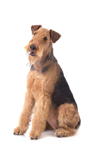 airedale terrier non shedding 17 best images about airedale terrier on mans