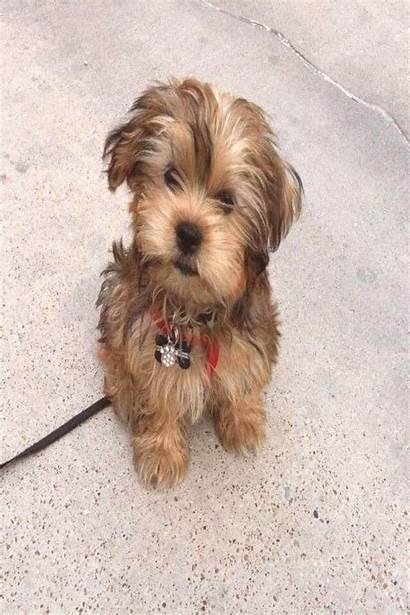Yorkie Shorkie Teddy Morkie Haircuts Bear Puppies