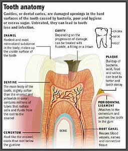 A Diagram Of Your Tooth And What You Need To Be Aware Of