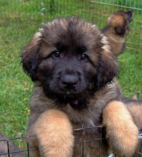 leonberger st bernard bernese mountain dog  great