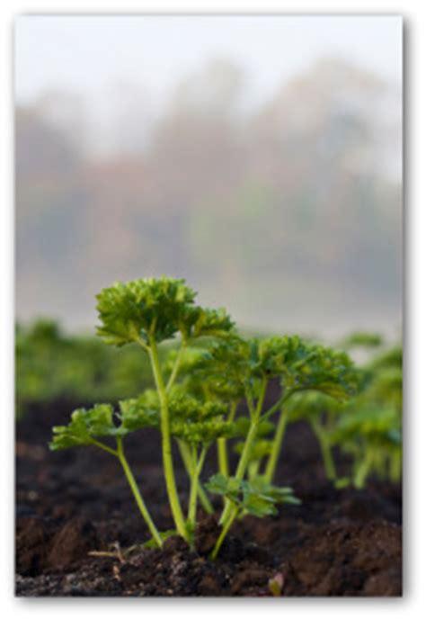 growing celery   garden