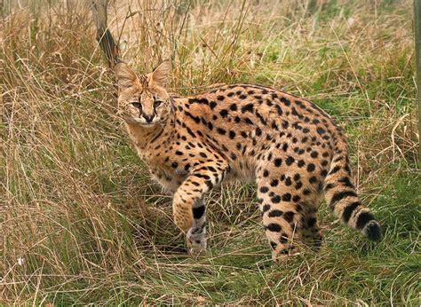 The African Serval Animaltalk
